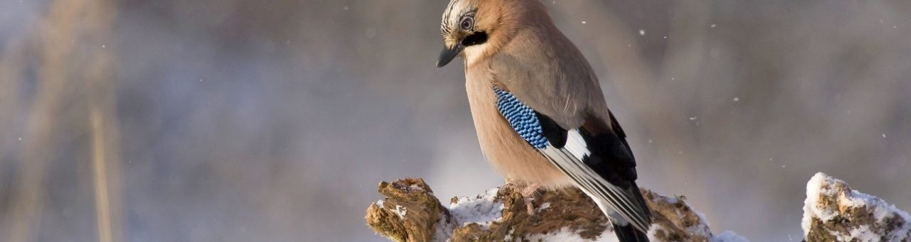 Jay bird perched on a branch in winter woodland